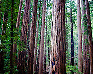 Deep in a grove of redwood trees, in the mountains above Santa Cruz, the scars of forest fire can still be seen.