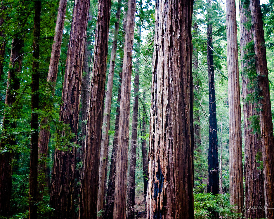 Deep in a grove of redwood trees, in the mountains above Santa Cruz fine art photography, art photography, fine art, prints, photo print, fine art prints, photography art prints,