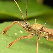 Valentia compressipes - Reduviidae assassin bug in Phu Khieo Wildlife Sanctuary, Thailand.