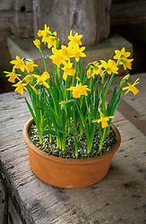 Narcissus 'Tete-a-Tete' growing in a terracotta pot in the porch at Great Dixter