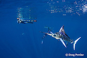 Skip Stubbs videotapes striped marlin, Kajikia audax (formerly Tetrapturus audax ), feeding on sardines, Sardinops sagax, off Baja California, Mexico ( Eastern Pacific Ocean ) MR 398