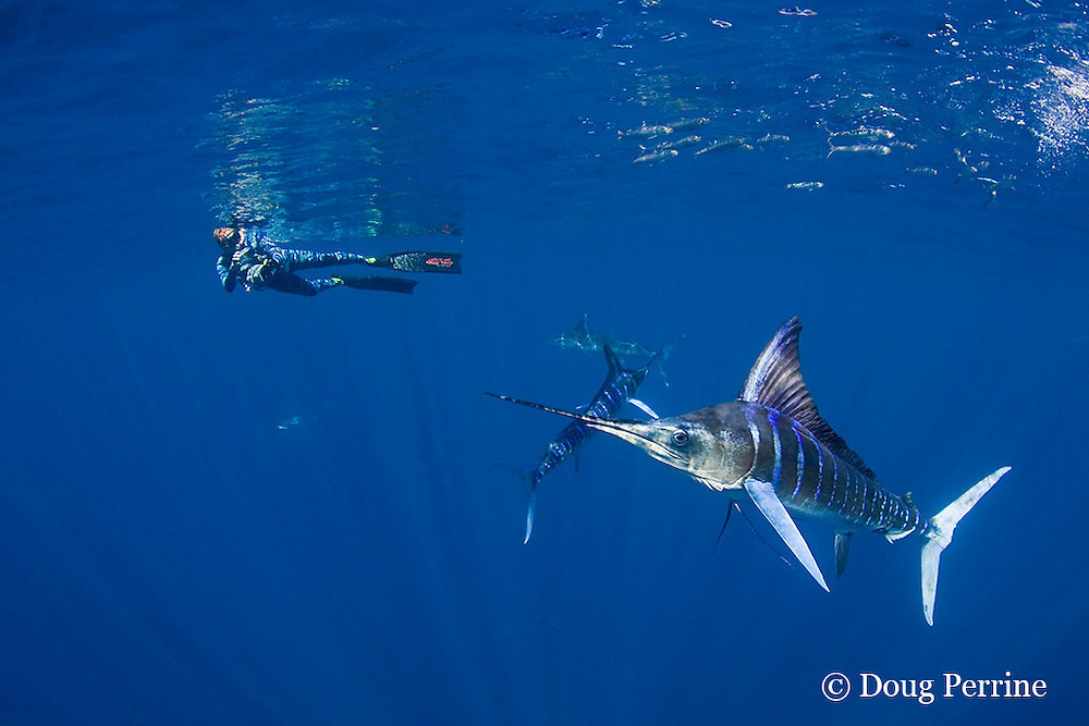 Skip Stubbs videotapes striped marlin, Kajikia audax (formerly Tetrapturus audax ), feeding on sardines, Sardinops sagax, off Baja California, Mexico ( Eastern Pacific Ocean ) MR 398
