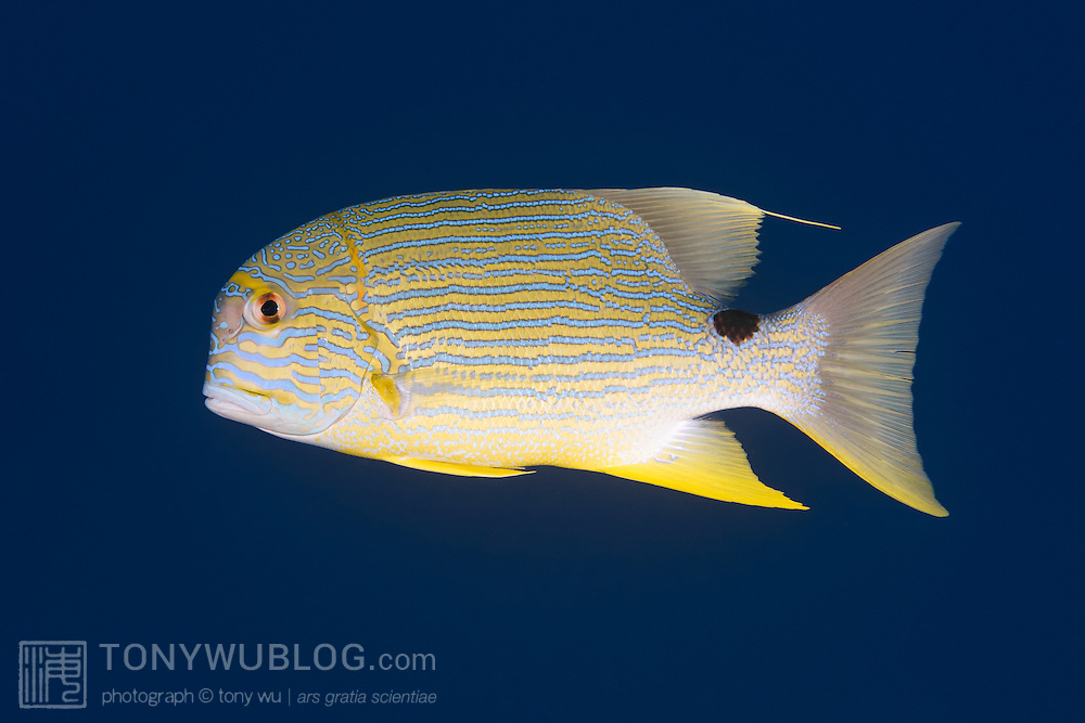 Profile of a blue-lined sea bream (Symphorichthys spilurus), photographed in Palau.