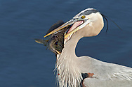 Great Blue Heron - Ardea herodias - adult bird with tilapia catch