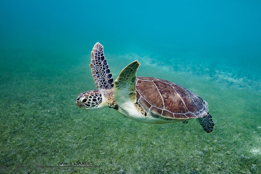 Green turtle, Mexico