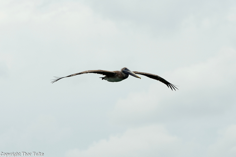 Brown Pelican over Boca de Yuma on the east coast of The Dominican Republic.