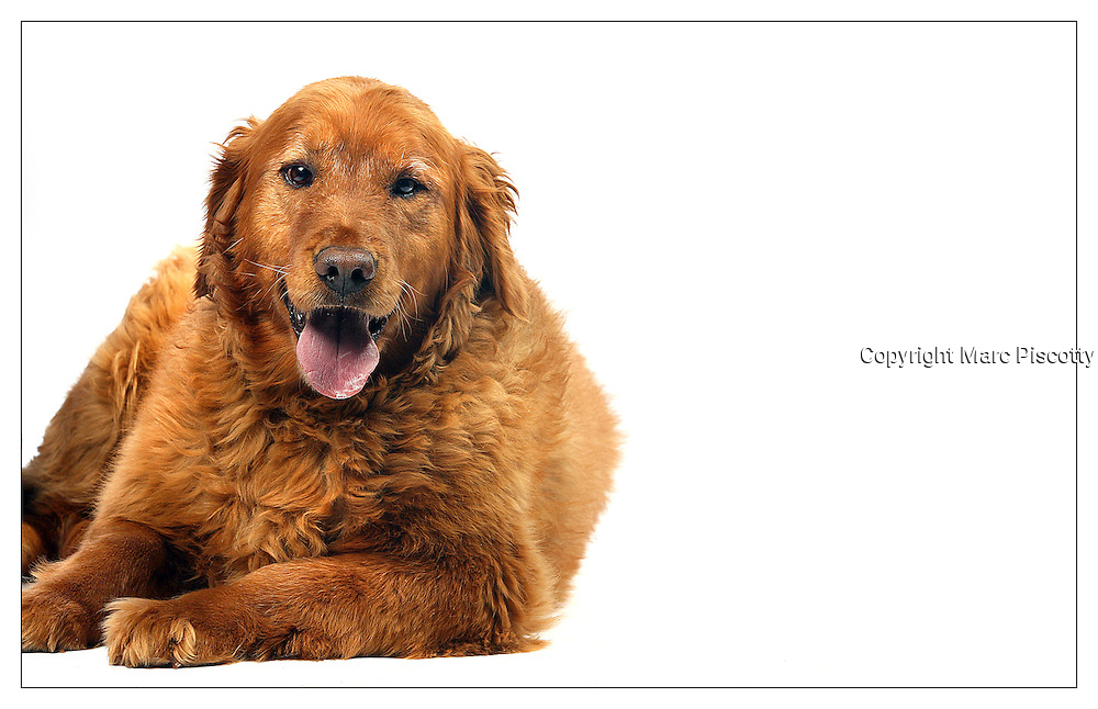 "5/28/08 2:01:03 PM -- Divide, CO, U.S.A. --  ""Reggie"", a six year-old male, photographed at the Teller County Regional Animal Shelter in Divide, Co. Mars Veterinary is developing sophisticated genetic tests that will allow pet owners, veterinarians and care providers to gain insight into the genetic make up of their individual dog. Numerous mixed breed dogs were photographed in Colorado Springs, Co. and at the Teller County Regional Animal Shelter in Divide, Co. before having blood samples submitted for testing by Mars into their genetic background. The Mars Wisdom Panel MX Mixed Breed Analysis is the most comprehensive DNA-based mixed breed test for dogs and detects 134 AKC-recognized breeds. -- Photo by Marc Piscotty, Freelance.(Note : All ages of dogs are approximate best guesses by owners and animal shelter employees)"