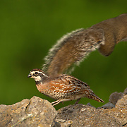 Perched atop a stone fence, a Bobwhite Quail is forced to duck out of the way of a gray squirrel as they crossed paths at Shaker Village at Pleasant Hill, Ky., on Wednesday, May 29, 2013. Photo by David Stephenson