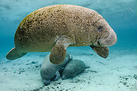 Florida manatee, Trichechus manatus latirostris, a subspecies of the West Indian manatee, endangered. Horizontal orientation. A young, curious manatee swims over a sleeping mother and calf in the warm  freshwater of Three Sisters Springs, Crystal River National Wildlife Refuge, Kings Bay, Crystal River, Citrus County, Florida USA.