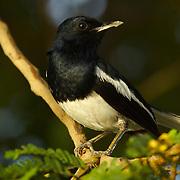 Oriental Magpie Robin, Copsychus saularis ceylonensis