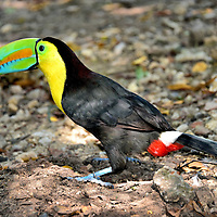 Keel-billed Toucan at Cruise Terminal in Cartagena, Colombia <br />
