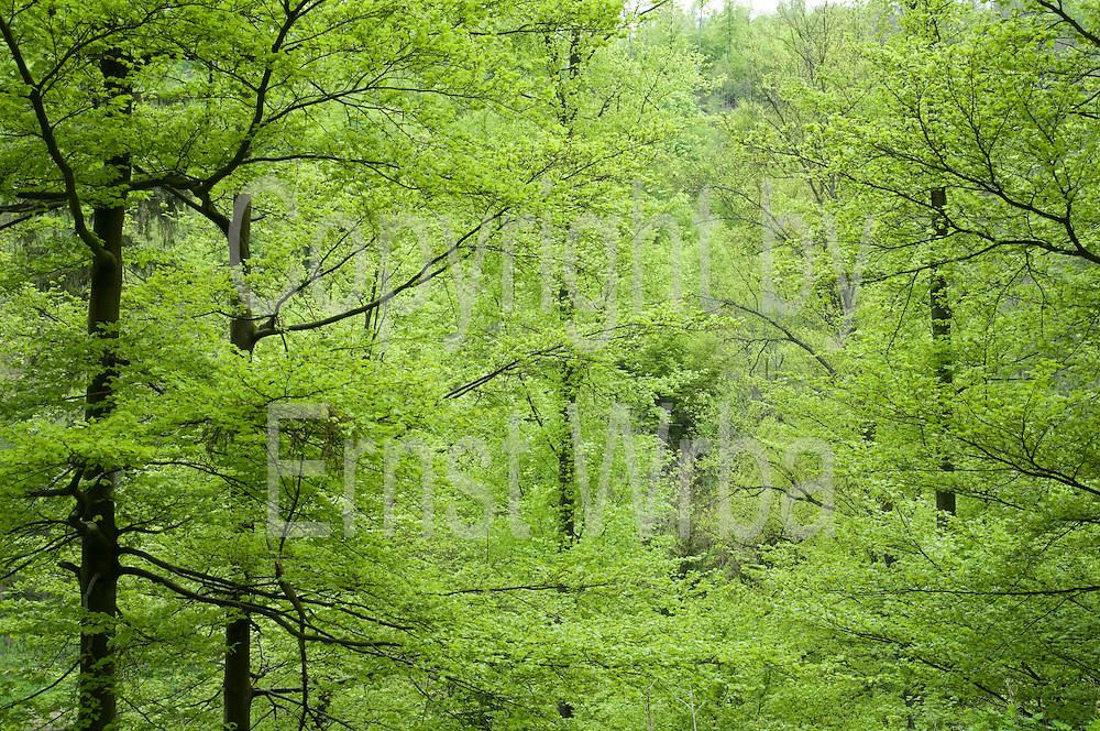 Buchenwald im Frühling, Wolfsbachtal bei Hohegeiß, Naturschutzgebiet, Wald, Harz, Niedersachsen, Deutschland | spring forest Wolfsbach valley near Hohegeiß, Harz, Lower Saxony, Germany
