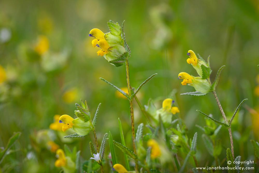 Yellow rattle. Rhinanthus minor