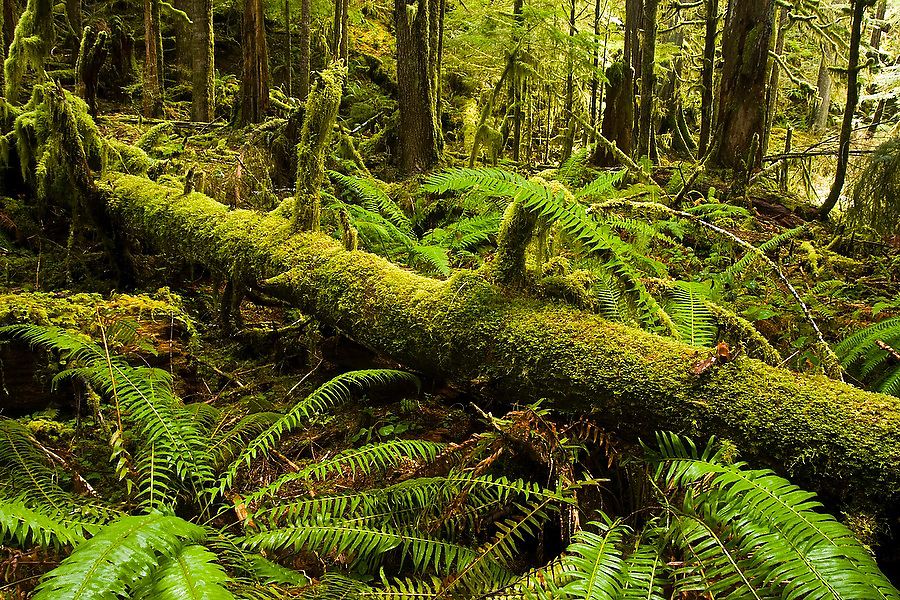 Sword ferns (Polystichum munitum) surround a moss covered log  in the understory of old growth forest along the Marymere Falls Trail near Lake Crescent, in Olympic National Park. The one-mile trail winds through mossy old growth forest to popular Marymere Falls.