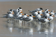 Lesser Crested Tern - Sterna bengalensis-  Non breeding adults