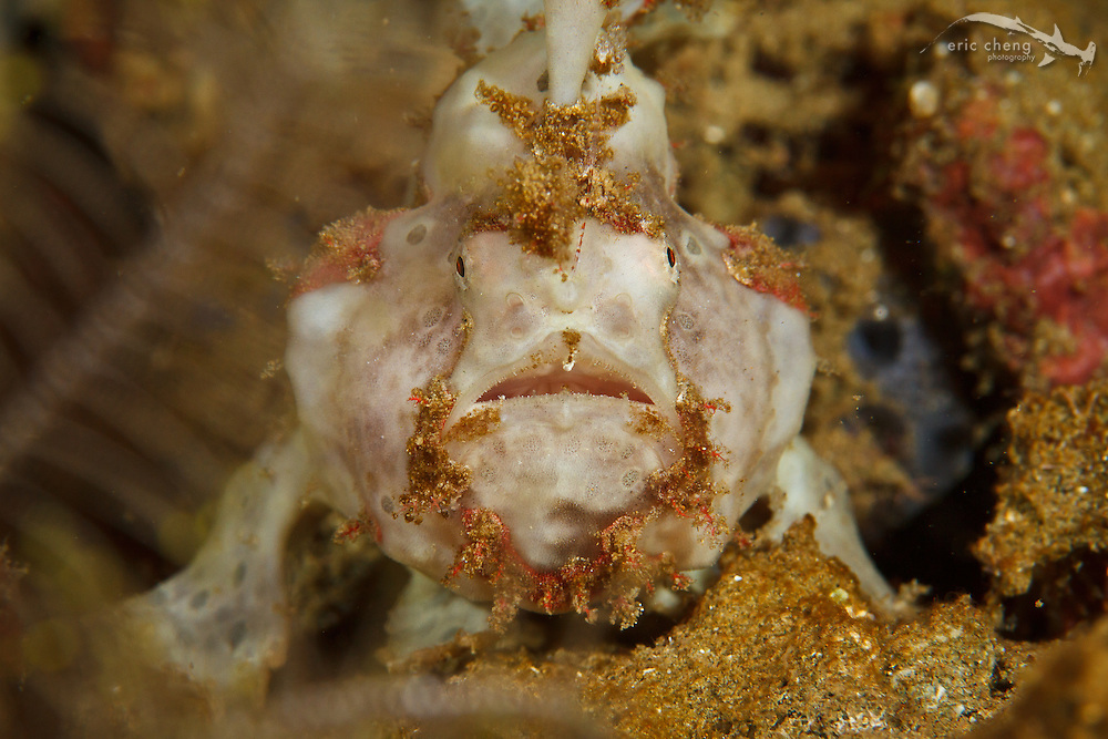 A painted frogfish (Antennarius pictus), with its lure visible. Ambon, Maluku, Indonesia.