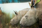AFrica Museum Tervuren.Hoorns van neushoorns zijn verwijderd om diefstal van deze vermeende afrodisiaticum te voorkom.