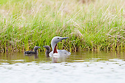Red-throated Loons, Gavia stellata, adult with chicks, Yukon Delta NWR, Alaska