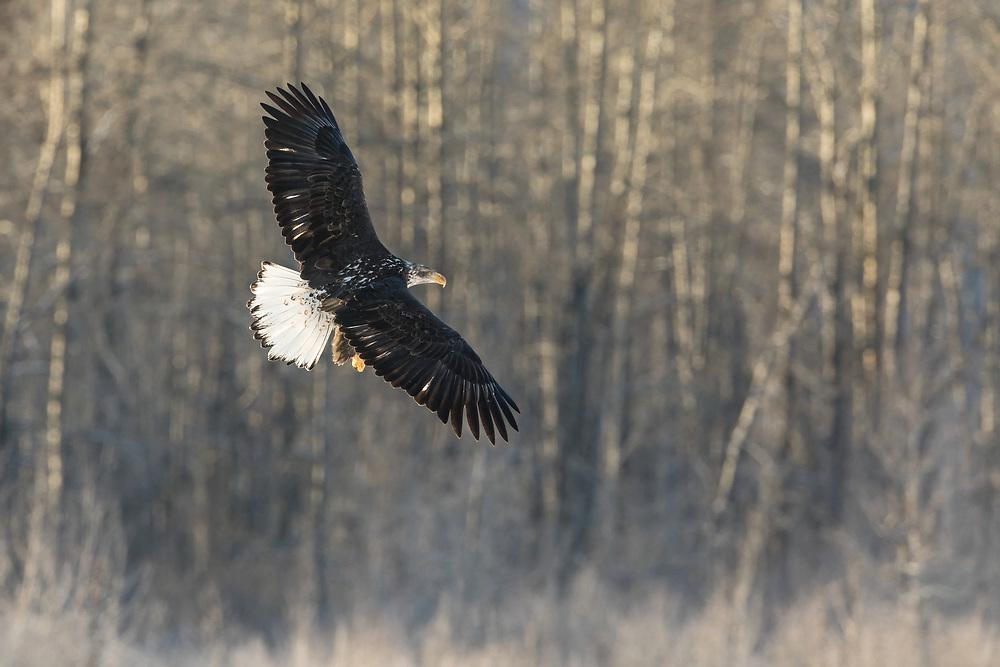 Juvenile Bald Eagle (Haliaeetus leucocephalus) in flight searching for salmon in the Chilkat Bald Eagle Preserve in Southeast Alaska. Winter. Morning.