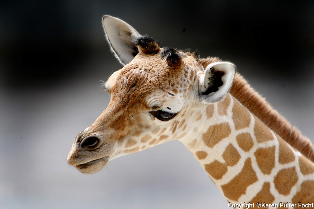 """May 22, 2014 - The Memphis Zoo,  is proud to introduce, Tamu Massif, who was born on May 16th. His name means """"sweet giant"""" and the week old baby giraffe was frolicking in the exhibit on Thursday morning."""