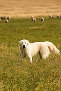 Great Pyrenees, guard dog, protecting, flock of sheep, Montana