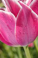 Wet Pink Tulip