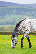 Apaloosa horse, Equus caballus, grazing in field of buttercups on Exmoor in Somerset, United Kingdom
