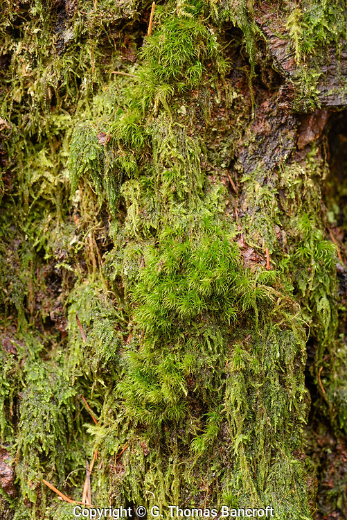 A curly heron's-bill moss clump on side of Douglas Fir with Cat-tail Moss around edge.