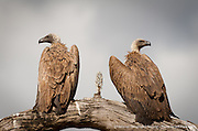 White-backed Vultures sitting on a dead tree branch in the Serengeti National Park, Tanzania.