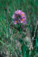 Michaelmas Daisy (Aster novae-anglicae), Millarville, Albera, Canada Photo: Peter Llewellyn
