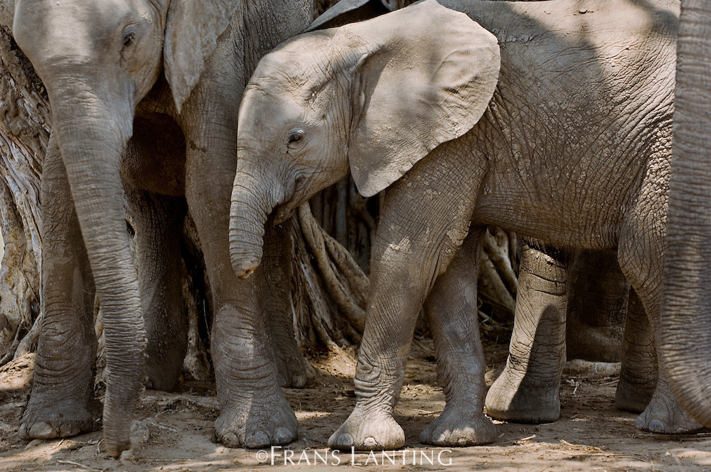Young elephant with trunk cut by poacher snare or by hyena, Loxodonta africana, Luangwa Valley, Zambia