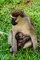Vervet monkey with feeding baby, Entebbe Botanical Gardens, Entebbe, Uganda.