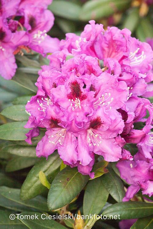 Rhododendron `Rasputin`