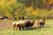 Funny sheeps in Ribaritsa village