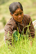 Esita works in the rice fields near her home to earn money to support her children. Her husband, the local mail man in Dholakat, was shot by drunken Army soldiers one night as he walked home from work. The soldiers mistook him for a Maoist rebel. www.crystalstreet.net