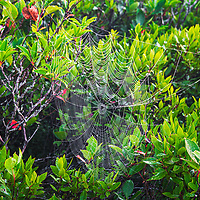 Early morning heavy dew on a spider web, Dolly Sods Wilderness