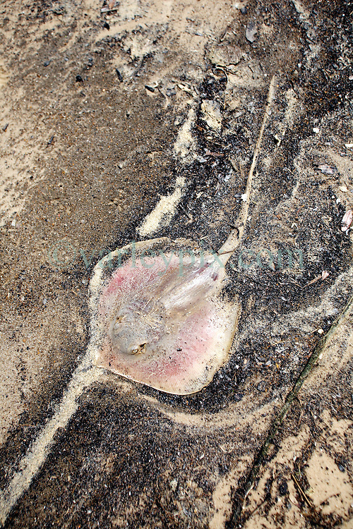 09 May 2010. Waveland, Mississippi USA. <br /> One of 6 dead stingrays and two dead catfish in just a half mile stretch of beach. Whether it's early indications of oil pollution, or catch tossed from a local fishing pier, it is truly tragic to find so many once fine, now dead fish in such a short stretch of beach. Either way, it shows a callous disregard for the environment in which we live. Meanwhile all around locals, tourists and visitors relax and enjoy the beauty of South Beach,  an hour from New Orleans. Just a few miles off the coast, an impending disaster looms. With the continual flood of oil washing into the Gulf of Mexico and as winds turn and begin to push from the south, it is only and matter of when, not if the oil reaches the beaches. The barrier islands offshore are taking a battering soaking up the initial fronts of oil threatening everything in it's ever encroaching path. <br /> Photo; Charlie Varley/varleypix.com