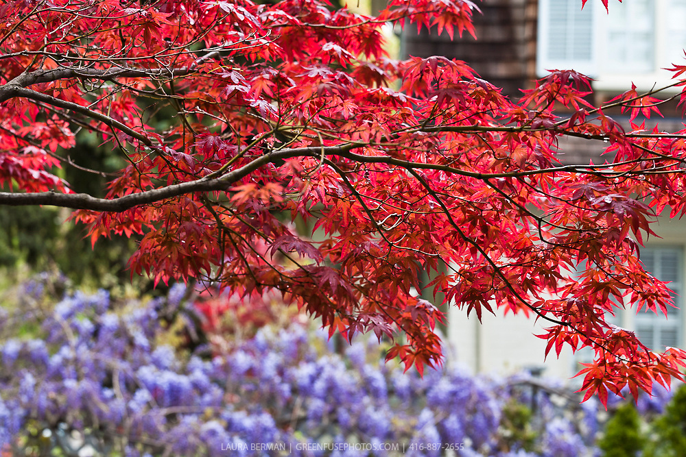 Bloodgood Japanese maple (Acer palmatum 'Bloodgood')