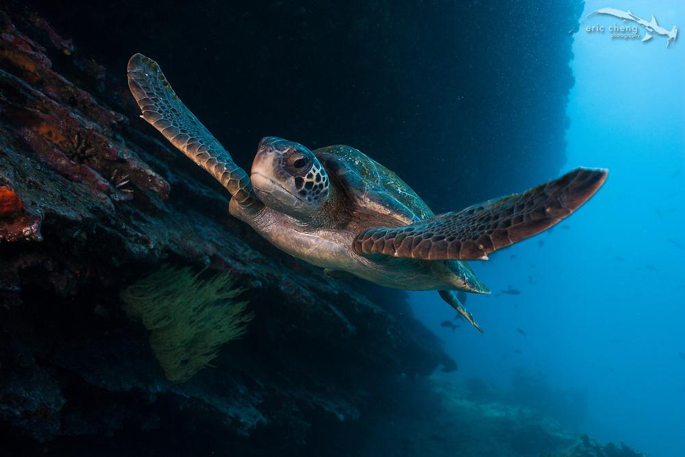 A green sea turtle (Chelonia mydas) at Cousin's Rock in Galapagos, Ecuador.