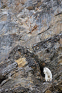 Mountain Goat, cliff face, Alpine, Wyoming
