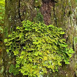 Lichen - lobaria pulmonaria in a forest in Groton, New Hampshire.
