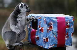 A lemur receives Christmas treats from their keepers at ZSL Whipsnade Zoo in Whipsnade, North of London, UK Tuesday December 18, 2012. Photo by Imago / i-Images...UK ONLY