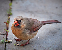 Immature Northern Cardinal. Image taken with a Nikon D5 camera and 600 mm f/4 VR telephoto lens (ISO 1600, 600 mm, f/8, 1/160 sec).