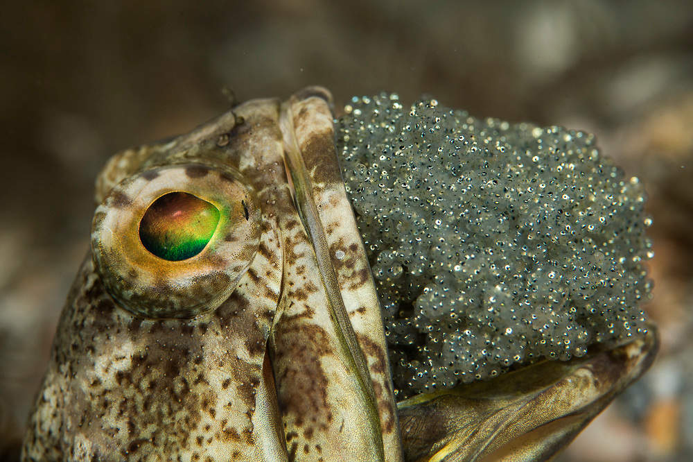 A male Banded Jawfish, Opistognathus macrognathus, incubates a clutch of near term eggs underneath the Blue Heron Bridge in the Lake Worth Lagoon in Singer Island, Palm Beach County, Florida, United States.