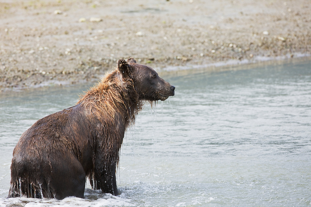 Sow Brown Bear (Ursus arctos) in Horn Creek looking for spawning salmon on Glacier Spit in Chinitna Bay area of Lake Clark National Park in Southcentral Alaska. Summer. Afternoon.