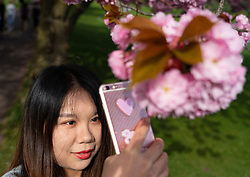 Edinburgh, Scotland, UK. 23 April, 2019. With cherry blossoms in full bloom on trees in The Meadows park in the south of the city, students from nearby Edinburgh University and the public enjoy the blossoms and fine weather. Pictured, Olivia, a student at Edinburgh University, photographs cherry blossom with her phone.