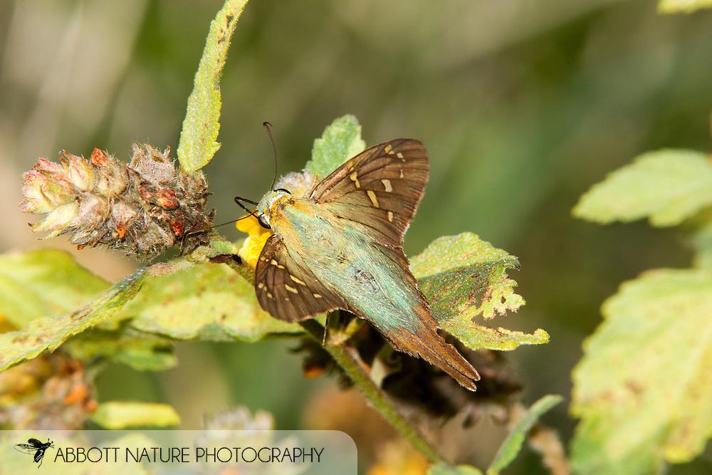 Long-tailed Skipper (Urbanus proteus)<br /> TEXAS: Cameron Co.<br /> Las Palomas Wildlife Management Area; Boca Chica<br /> off Hwy 4<br /> 9-Nov-2014<br /> J.C. Abbott &amp; K.K. Abbott