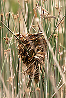 Marsh Wren adult weaves a wet reed around the cattail stems building the outside of its nest.