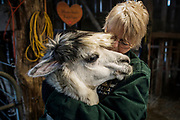 Suzie Conn hugs Big Al, one of her 13 alpacas during afternoon feeding in College Grove, Tenn. (The New York Times)