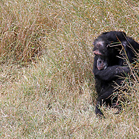Africa, Kenya, Nanyuki. Chimpanzee at the Sweetwaters Chimpanzee Sanctuary.